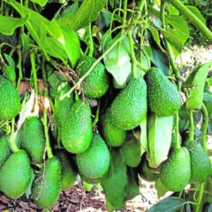 aguacate hass1