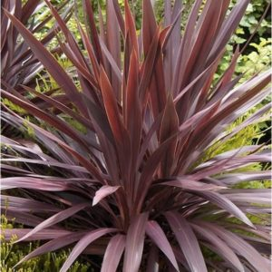 cordyline red
