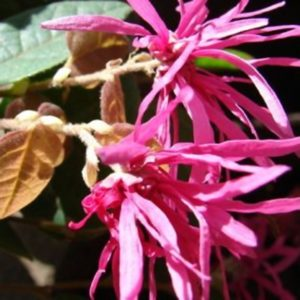 loropetalum chinense flor medium