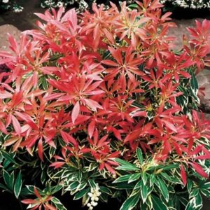 pieris japon