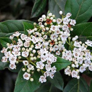 viburnum tinus 2