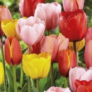 tulipan darwin